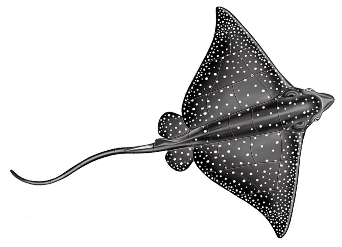 Manta Rays / Stingrays